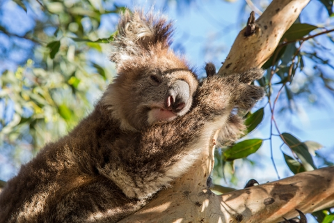 Koala Australien australia sydney Outback animals fauna