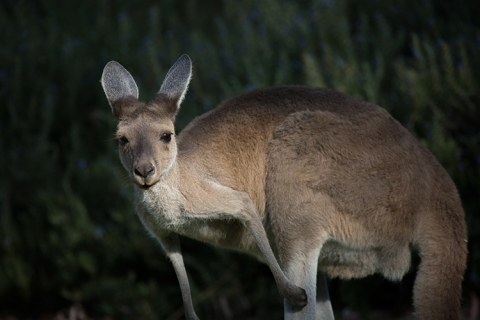 Australien kangaroo Kängeru Outback Sydney animals australia Emu fauna