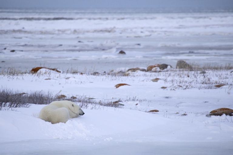 Während die Hudson Bay nur langsaArktis Canada Kanada Winnipeg Eisbär Churchill Photographym zufriert, langweilen sich viele Eisbären am Strand.
