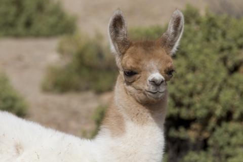 Bolivien Altiplano Anden Uyuni Salt Lake La Paz Lama