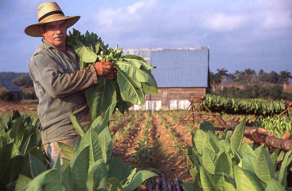Tabacco Harvester - Cuba
