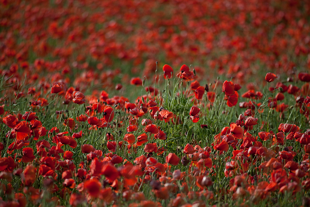 Poppy Field - Germany