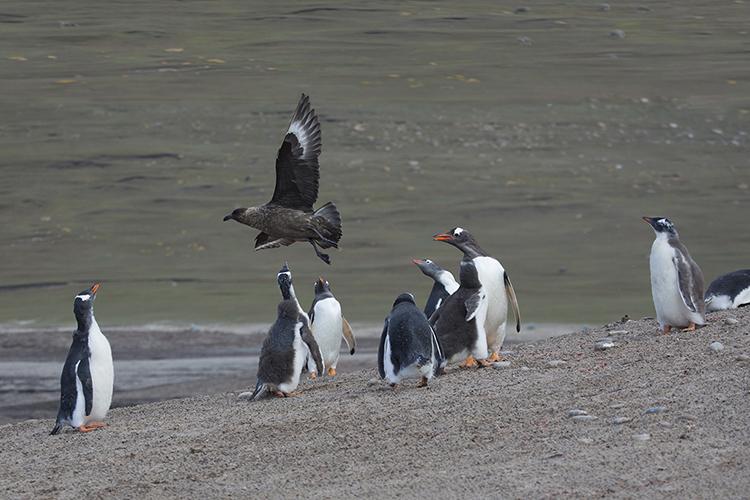 Airattack - Sunders - Falkland Island