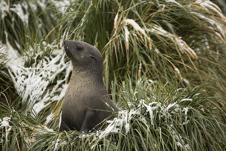 Südgeorgien Antarktis Süd Orkney Drake Südpol Pinguin Wal Buckelwal Seelöwe Robbe Seeleopard