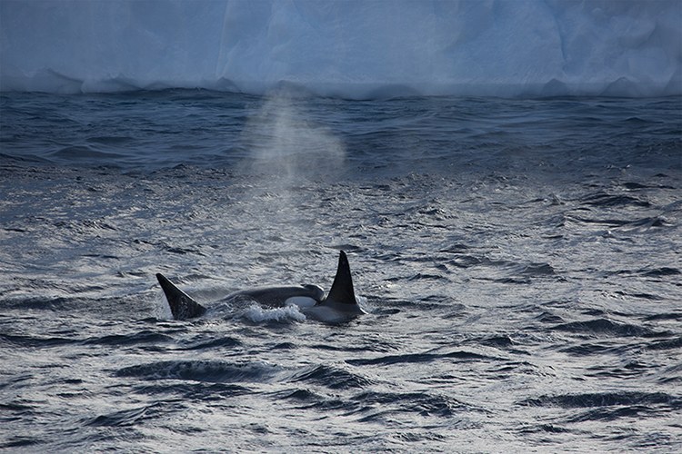 Orcas - Antarctica Peninsula