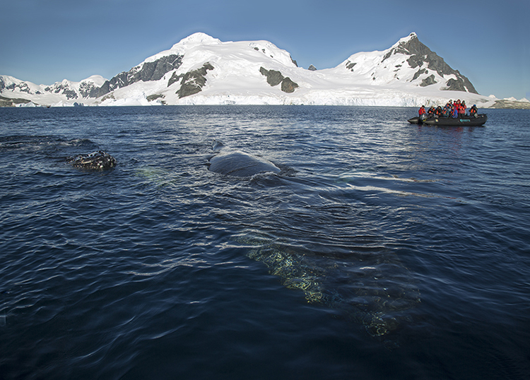 Humpback whale - Cuverville Island