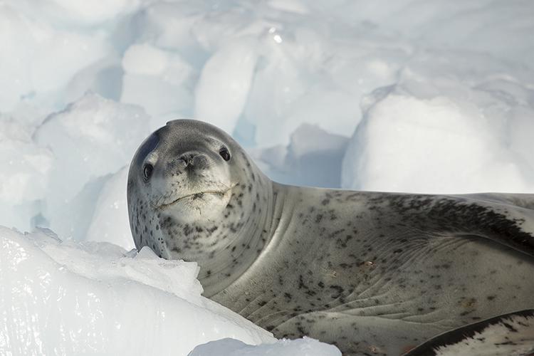 Leopard seal - Antarctica Peninsula