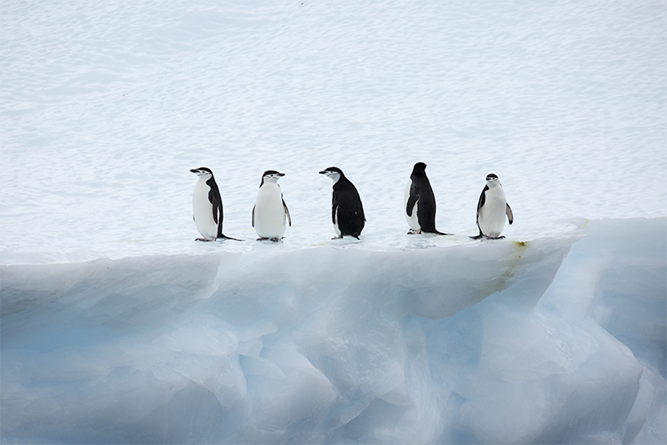 Chinstrap Penguin - Gold Harbour - Antarctica Peninsula