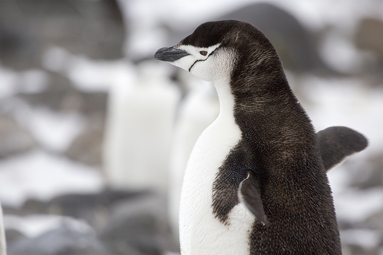 Chinstrap Penguin - Halfmoon Island - Antarctica Peninsula