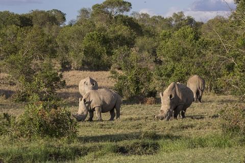 Ol Pejeta Sudan Southern white rhino